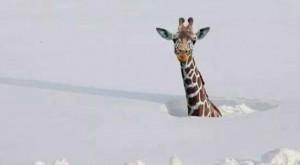 Girafa in zapada
