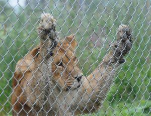 Leu captiv gradina zoologica gard sarma